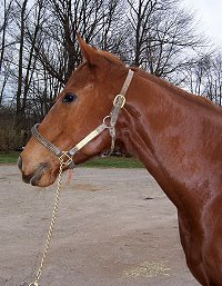 Absotutely is a 16 hh 4 year old Thoroughbred gelding for sale.