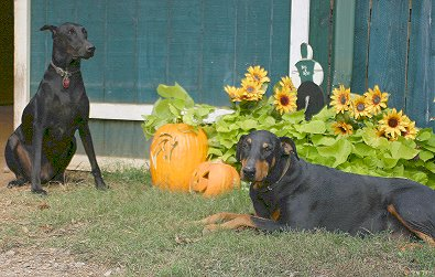 Our watch dogs - dobermans Zulu and Wizard.