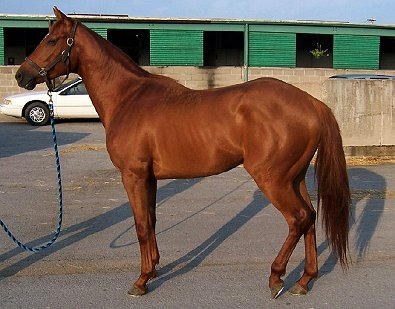 Four year-old unraced chestnut gelding for sale.