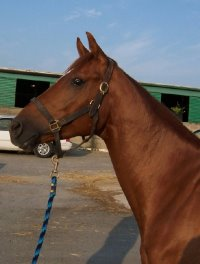 Brett is an unraced chestnut Thoroughbred horse for sale.