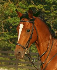 Classic Casey is a Thoroughbred gelding for sale at Bits & Bytes Farm.