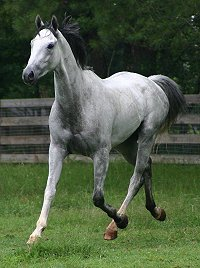 Grayboo - Thoroughbred horse for sale.