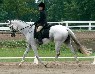 OTTB - Grayboo competiting in dressage.