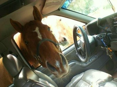Horse with head inside car window. Thoroughbreds just want to be close to their humans.