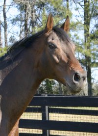 Pride of the Fox is a Thoroughbred horse for sale at our farm.