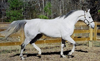 Allovertheplace is a gray Thoroughbred horse for sale.