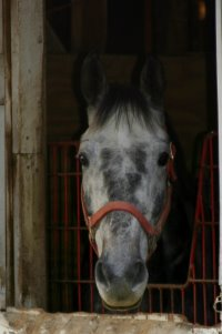 New July Prospect Six - Grey Thoroughbred Horse for Sale. Gray Thoroughbred Horse for sale.