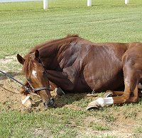Former Prospect Horse for Sale -Sand Trapper enjoying a good roll in the dressage arena. - July 2005