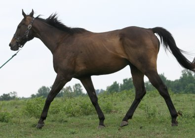 OTTB - Queen's Rowdy Lad needs a new home. He is currently sun bleached from being pasture boarded.