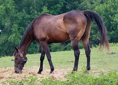 Thoroughbred horse for sale in Canton, Georgia