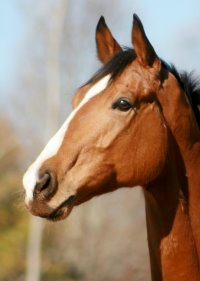 Ex-racer - Southern Legacy came to Bits & Bytes Farm in November 2006 to begin his retraining to be a sport horse.