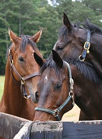 Three bay Thoroughbred horses for sale.