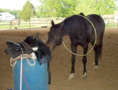 off-the-track thoroughbred training - Jesse sniffing out the saddle for treats.