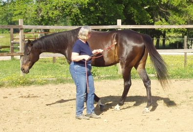 "Gail is training Waterloo Slew aka ""Jesse"" Parelli Natural Horsemanship."