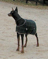 Our newest Doberman - Sydney models the latest in horse blankets for dogs.