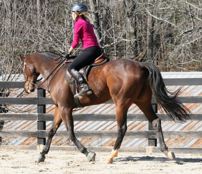 Bay Thoroughbred Horse For Sale