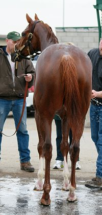 OTTB - Chestnut Thoroughbred horse for sale.