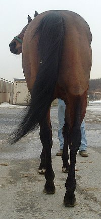 """Cannolies"" is a five year old bay gelding - Prospect Horse for Sale."
