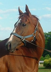 Ides Pride was a Prospect Horse For Sale in June 2007.