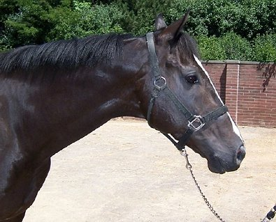 Black Thoroughbred Horse For Sale