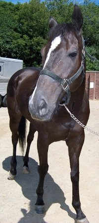Thoroughbred Horse For Sale