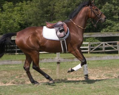 Horse for sale - OTTB Mighty Quiet