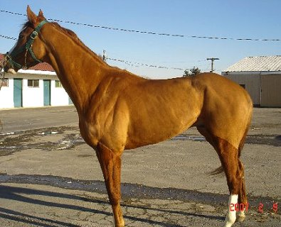 Thoroughbred horse for sale. Please call for more information. We do not give prices by e-mail.