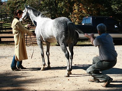 OTTB's need chiropractic adjustments before they begin serious training to rule out any possible alignment issues that might cause pain during training.