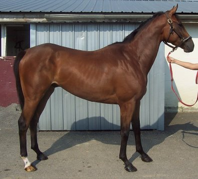 Unraced Thoroughbred Horse For Sale