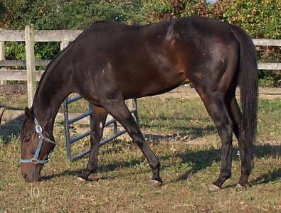 Bay Thoroughbred horse for sale on our Prospect Horses For Sale page.