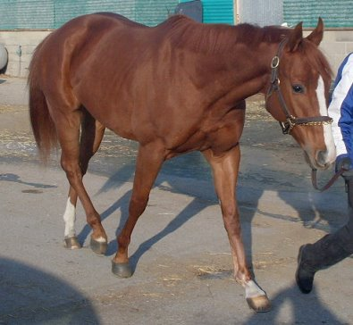 We have a new chestnut Thoroughbred horse for sale.