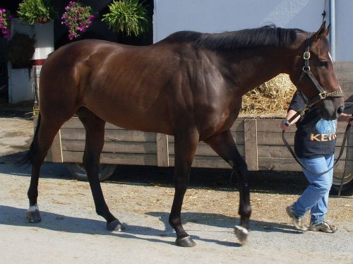 True Sweetheart is a very large bay Thoroughbred gelding for sale.