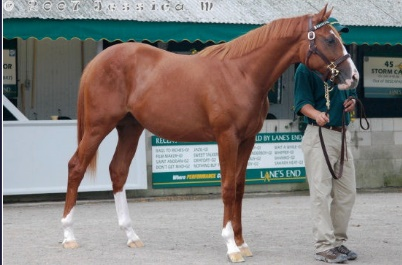 COMING SOON! - Chestnut Thoroughbred Prospect