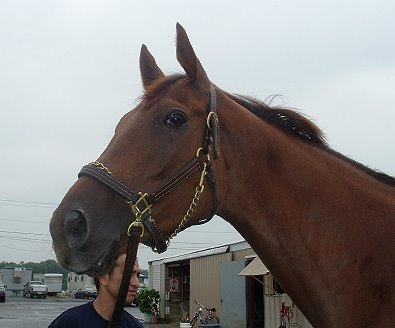 """A Flash"" is a four year-old Thoroughbred for sale. He is currently racing."