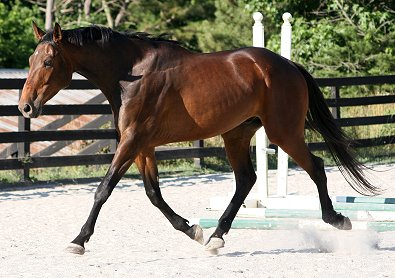"OTTB - Acanthium aka ""Andy"". shows great potiential as a dressage horse."