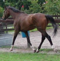 Former Prospect Horse for Sale - Artrageous is a gorgeous mover.