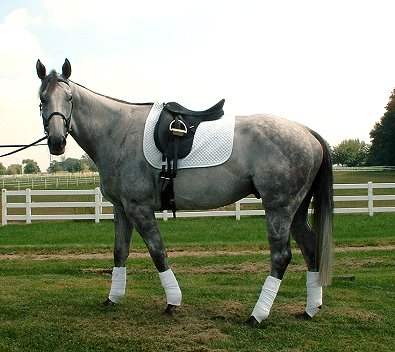 B C Charmer is a gray OTTB who has found a special mom.