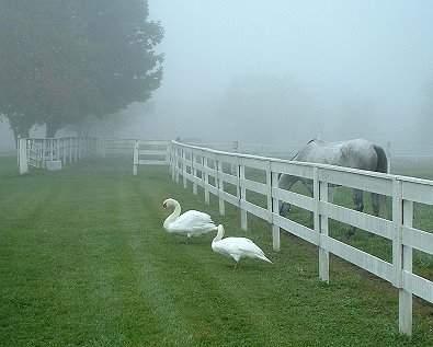 B C Charmer and his swan friends enjoy some green grass.