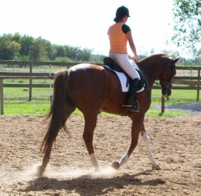 "OTTB Cold Cash aka ""Cadence"" is now successful in his second career as a dressage horse!"