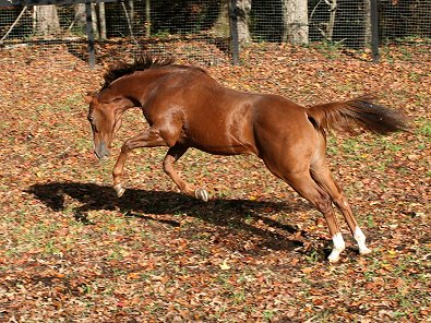 OTTB Fizzicus enjoyed his first turn out at Bits & Bytes Farm. November 10, 2006