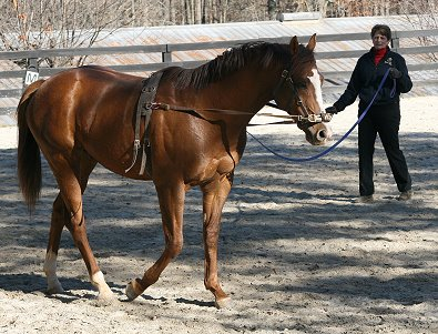 OTTB Fizzicus learns about side reins but without a bit for the first time.- November 25, 2006