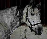 He Named Me Katie is a beautiful. big boned, dappled gray mare.