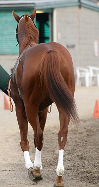 "Thoroughbred horse for sale - ""Moe""."