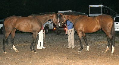 Political Pull reunites at Bits & Bytes Farm with his full sister - Most Always a Lady. August 2006