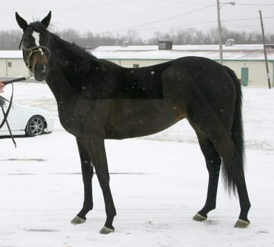 Roman Ripples was offered on our Prospect Horses for Sale page.