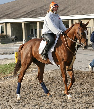 """Tommy"" is an elegant and gentle, 4 years old, 16+ hand, chestnut gelding."