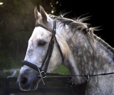 Grey horse for sale - Sing D Song is a son of Unbridled's Song.