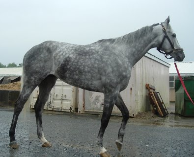 Sing D Song was a gorgeous gray Thoroughbred horse for sale.