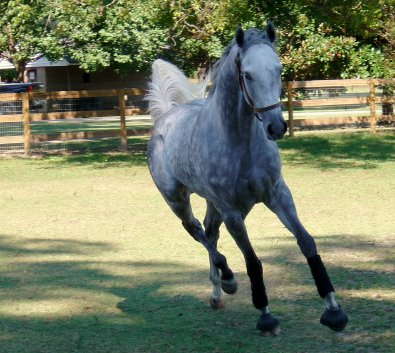 Sing D Song is a beautiful grey Thoroughbred who was for sale as a Prospect Horse in September 2006