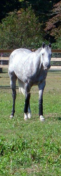 Sing D Song was a Prospect Horse for Sale. Grey horses sell fast!